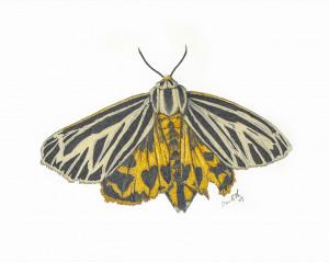 Oeuvre originale Apantèse vierge (Apantesis virgo): Virgin Tiger Moth