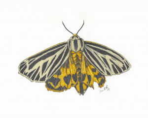 Apantèse vierge (Apantesis virgo): Virgin Tiger Moth