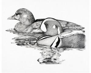 Oeuvre originale Arlequin plongeur (Histrionicus histrionicus): Harlequin Duck