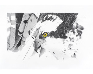 Oeuvre originale Balbuzard pêcheur (Pandion haliaetus) Osprey
