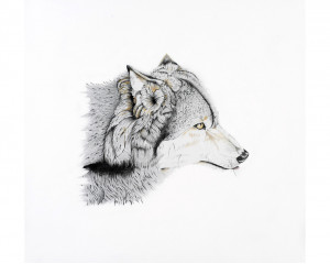 Loup gris (Canis lupus): Grey Wolf