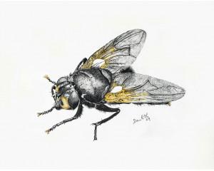 Oeuvre originale Mouche du midi (Mesembrina meridiana): Noonday Fly